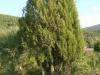 034-ginepro-fenicio-1
